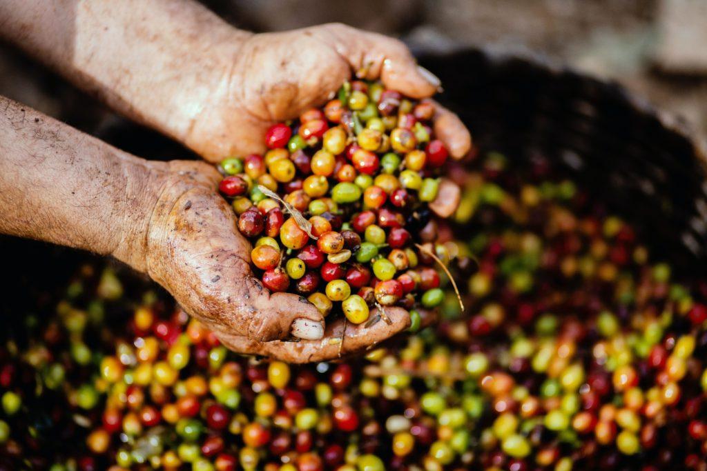 la coltivazione del caffè